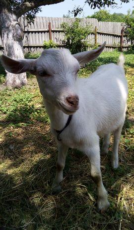 Зааненский козёл 5мес.и козочка 5мес.от Зааненской козы выбор