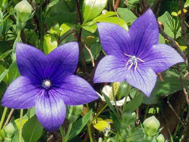 Платикодон, многолетние цветы, растения в контейнерах