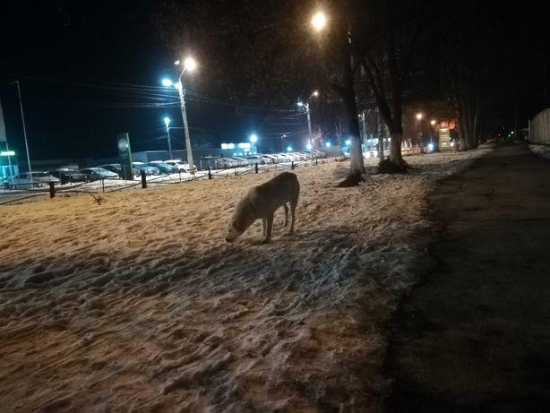 Замечена крупная белая собака кобель Инглези автосалон