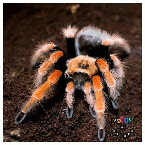 Самка паука птицееда для новичков Brachypelma boehmei