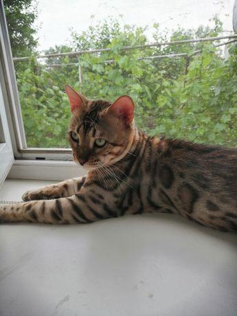 Бенгальский кот приглашает кошечек на вязку