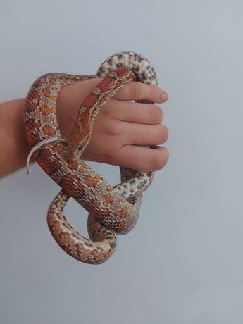 Wąż zbożowy (DOROSŁY SAMIEC)