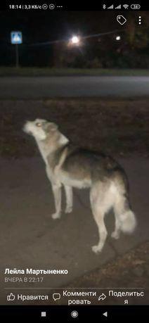Пропала замечена собака Шевчик