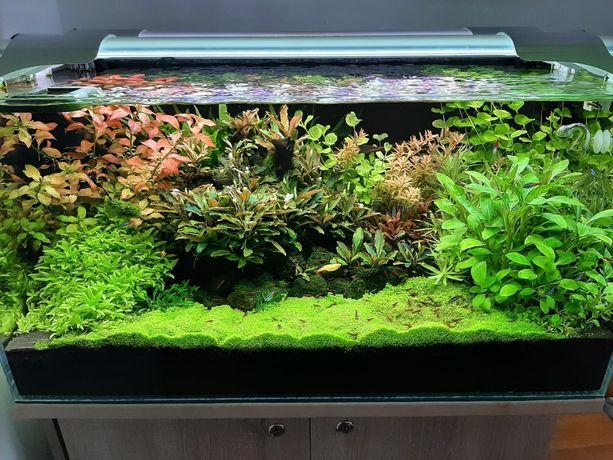Rośliny z przycinki , akwarium ludwiga repens, lobelia