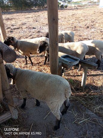Ovelhas suffolk para venda