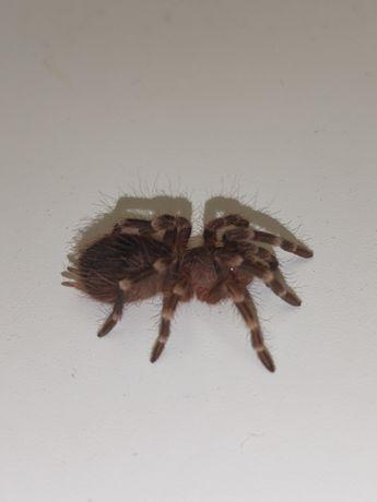 Ptasznik A. geniculata L5/6