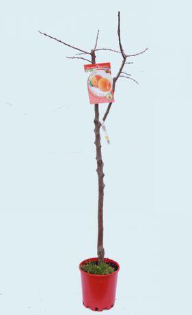 Arvore de fruto - damasco