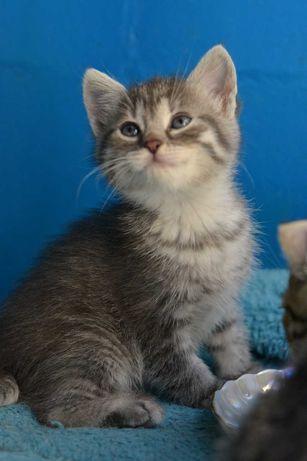 миловидний сіросмугастий котичок 1,5м