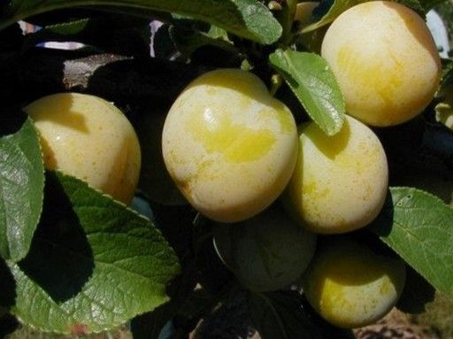 HERBARIUSZ - Śliwa renkloda ULENA - Żółta, najsmaczniejsza Deserowa