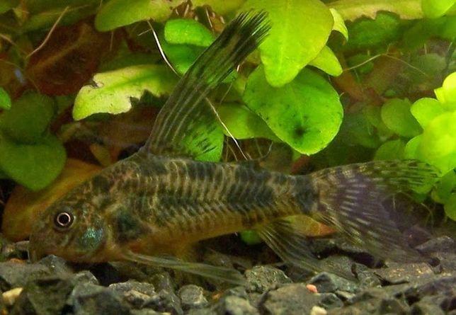 Kirys pstry i wiele innych ryb z własnej hodowli