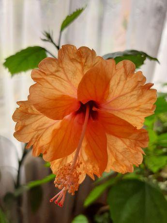 Продам гибискус персиковый