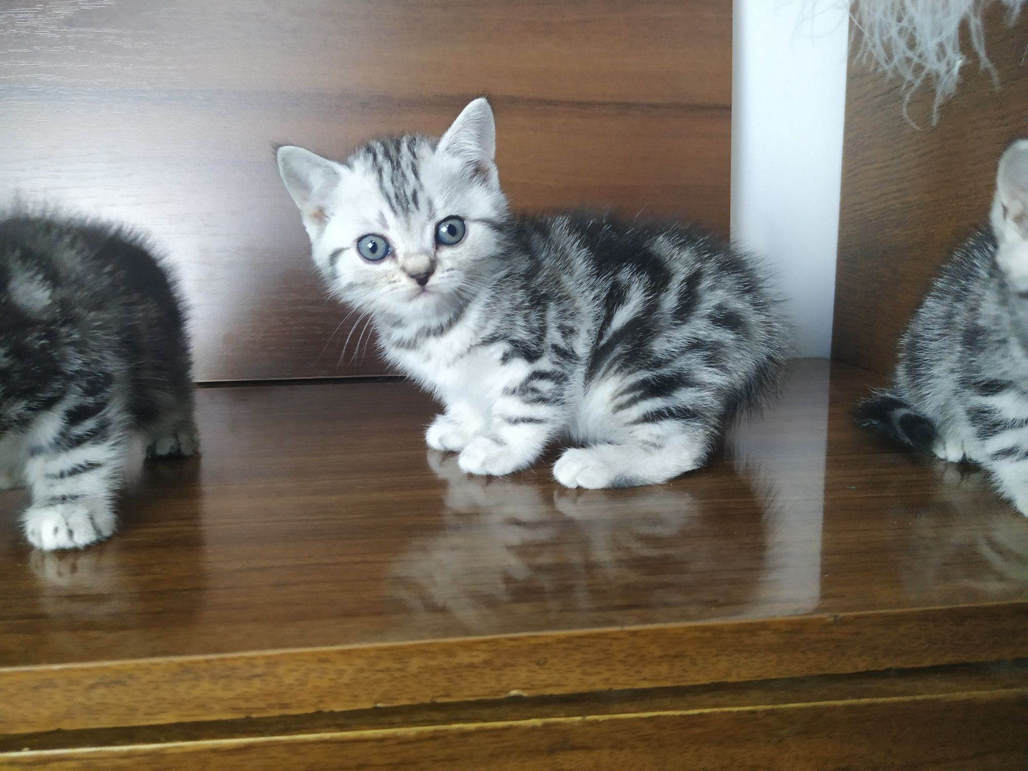 Шотландские котята мраморного окраса