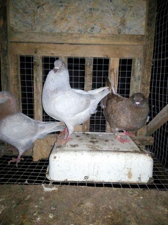 Продаю мясных голубей