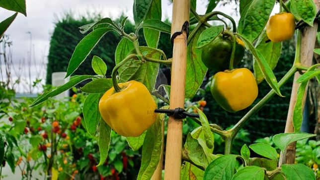 Rocoto Yellow - Pack de Sementes 10+