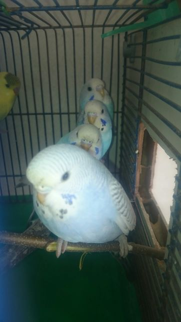 Papugi faliste młode oswajane.
