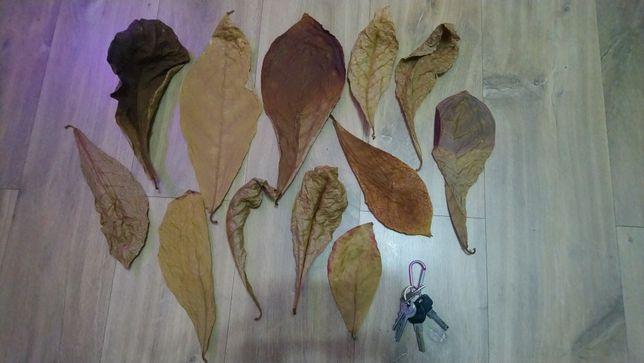 Ketapang liście migdałecznika