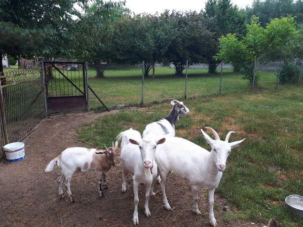 Kozy rasy mieszanej