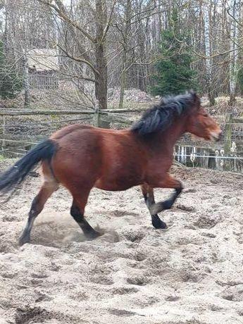 Sprzedam atrakcyjne konie