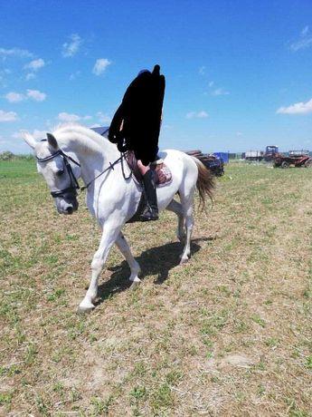 Koń wałach szpak