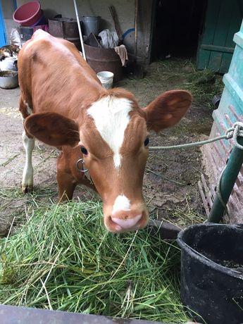 Теличка, телиця, корова