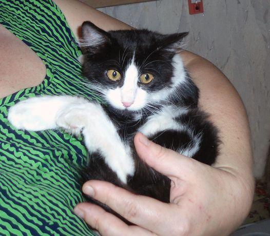 Лунтик - котенок-мальчик, мама сфинкс-браш, черно-белый, пушистенький