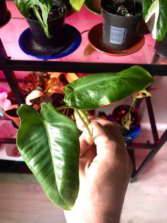 Philodendron Burle Marx Variegata
