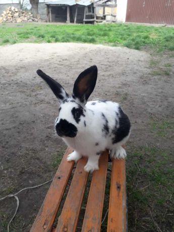 Sprzedam króliki rasy Srokacz