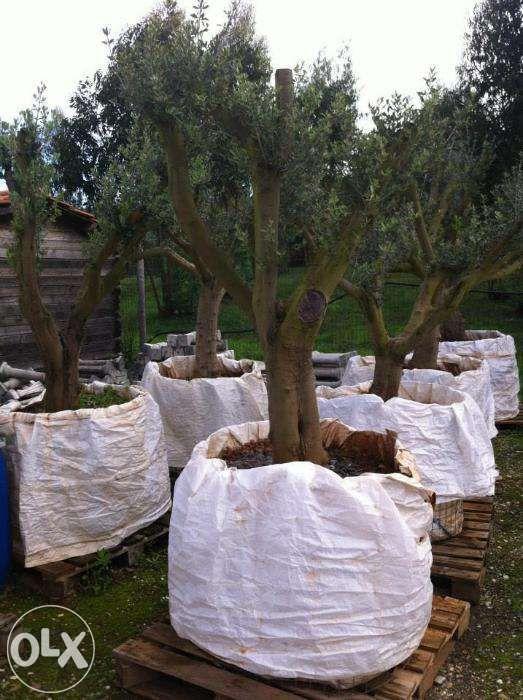 oliveiras jardim transporte domicilio Alcobaça - imagem 1