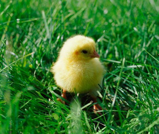 Цыплята Бройлера (суточный) Цыпленок Николаев и область Курчата