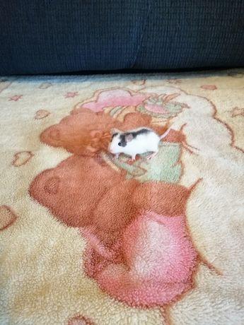 Szczurki domowe