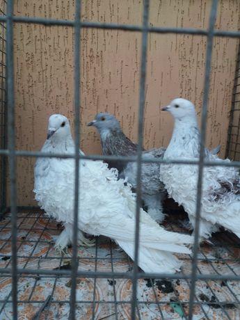 Продам кучерявих голубів
