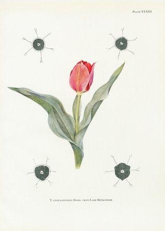TULIPANY piękne XIX w. reprodukcje XIX w. grafik do wystroju wnętrza
