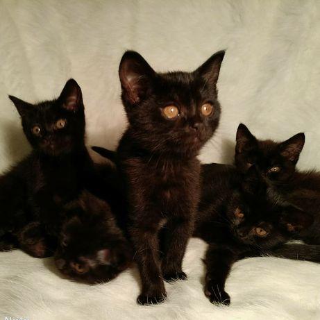 Британские плюшевые котята 2.5 мес.