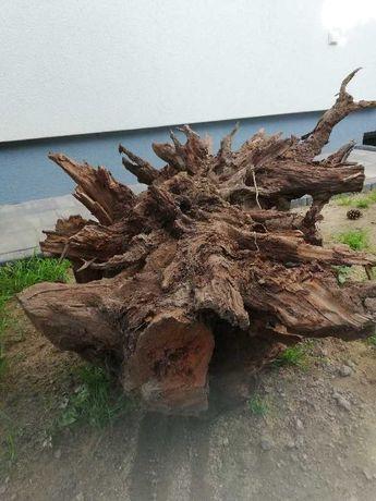 Korzeń drzewa oddam