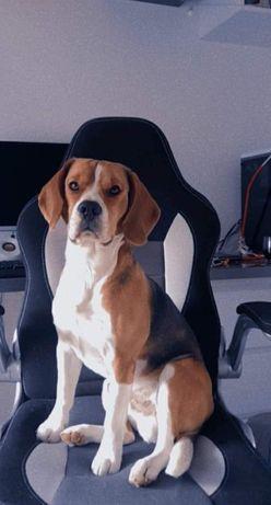 Zaginął pies rasy Beagle