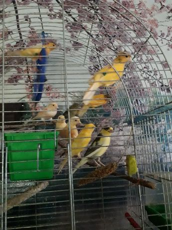 Птицы канарейки певчие