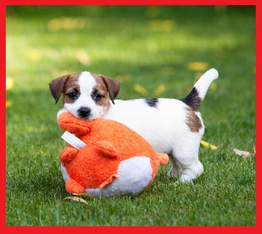 Jack Russell Terrier 2 suczki -już do odbioru ZKWP FCI