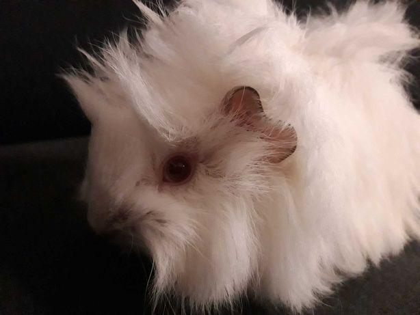 świnka morska biała długowłosa