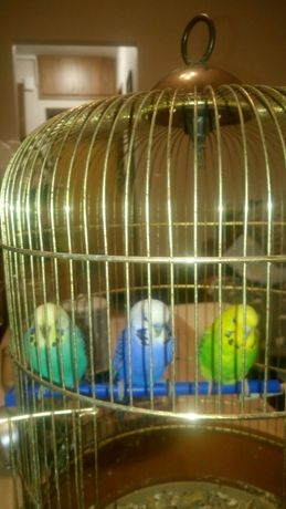 Pagugi, papużki faliste