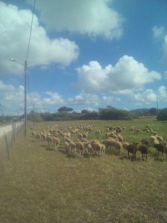 Vende-se ovelhas cruzadas de IL-France