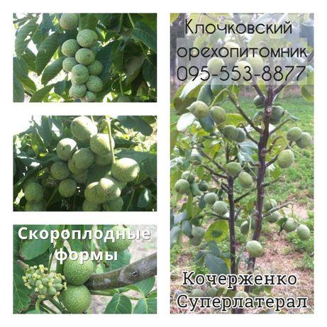 Урожай в 1-й год: скороплодные саженцы грецкого ореха.