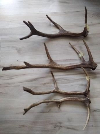Poroże rogi wieniec jelenia