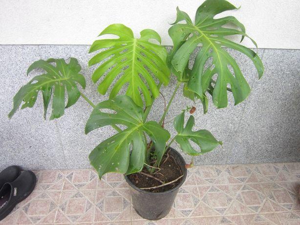 Planta exótica Acanto grego costela adão