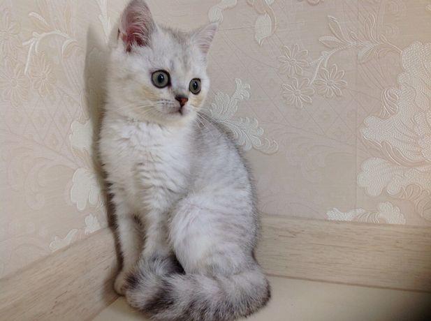 Шотландские котята серебристые шиншиллы страйтики