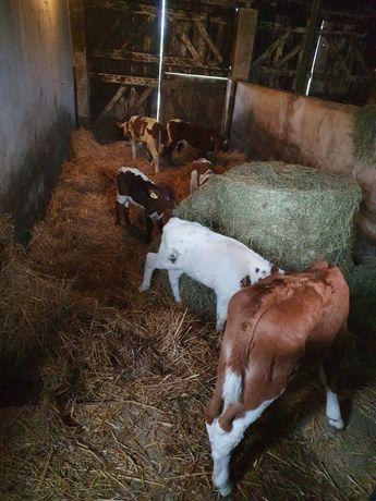 Jałoweczki i byczki mięsne