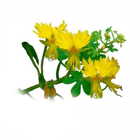 Sementes de Trepadeira Canária ( Planta Comestível)