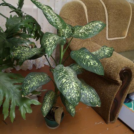 Вазон Dieffenbachia seguine