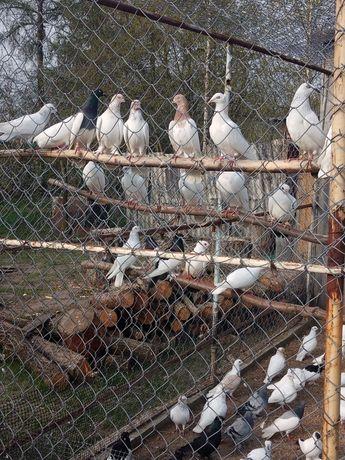 Gołębie różne rodzaje
