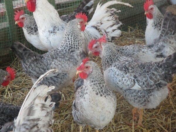 Продам яйца куриные инкубационное Венгрия Чехия Польша