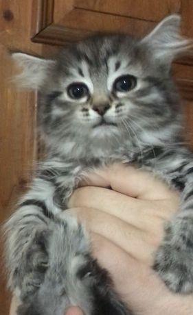 Очаровательная маленькая Сибирячка.